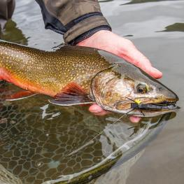 pat dorsey - brook trout