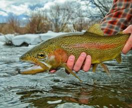pat dorsey - rainbow trout