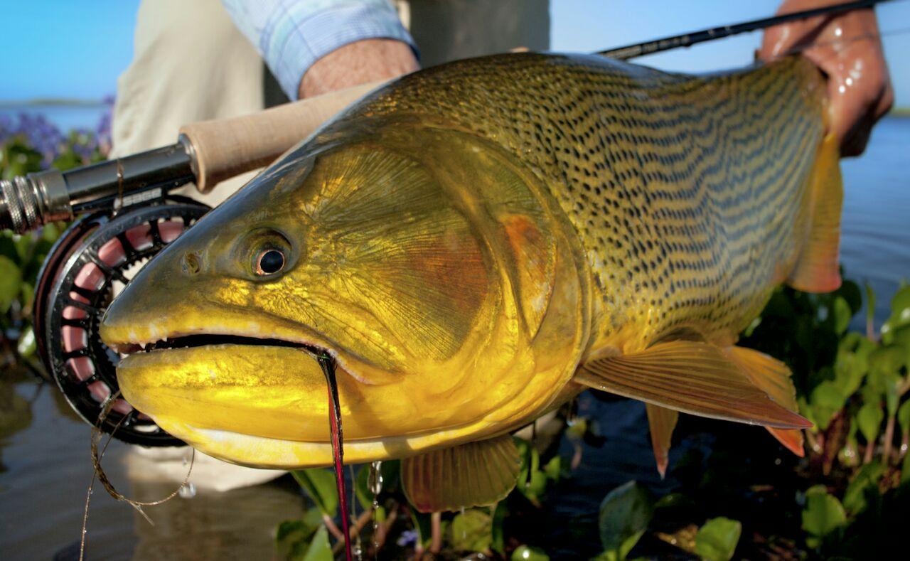 2019 10 Oct Big Fish Mat Wagner - Golden Dorado